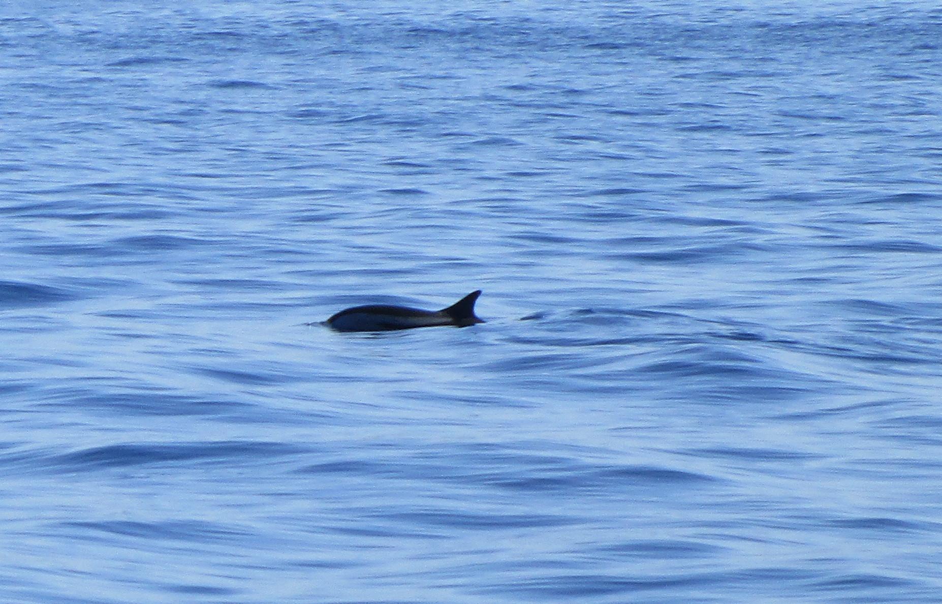 Svart delfin