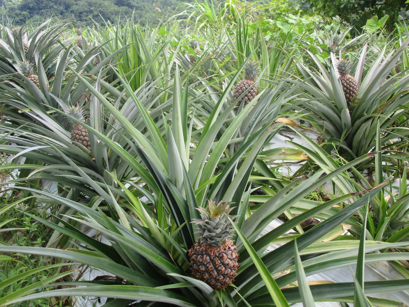 En ananas per planta