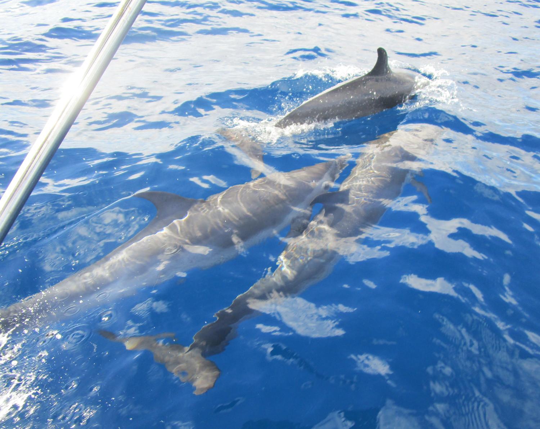 Dessa härliga delfiner mötte upp oss precis utanför St.Lucia
