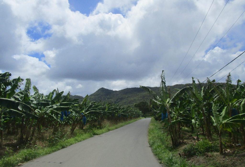 bananplantage